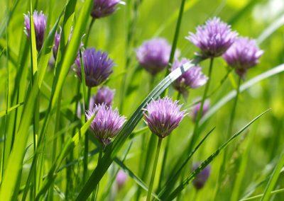 Purple-wildflower-clover-on-green-meadow (2018_12_07 15_17_43 UTC)